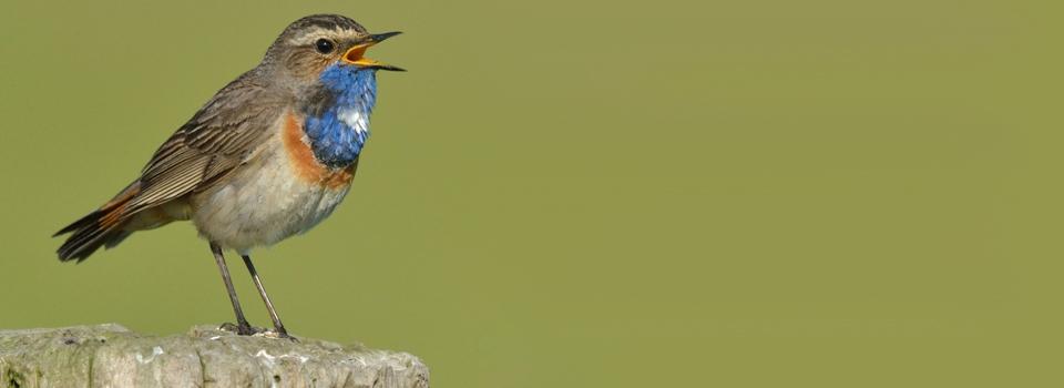 Zingend Blauwborstje op een boomstam